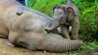 Слоненок у трупа матери