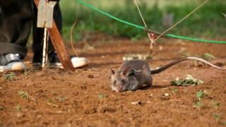 बारूदी सुरंग, बहादुर चूहे