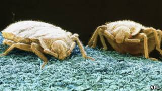 bedbugs, Science Photo Library