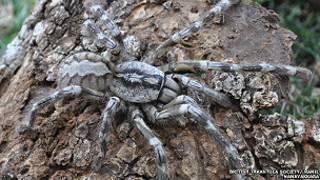 عنكبوت عملاق