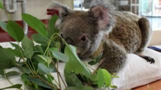 Koala convalesciente en un hospital australiano
