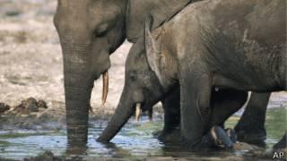 Elefante africano del bosque