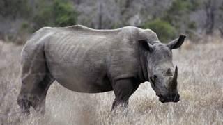 Tê giác ở Kruger