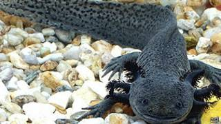 Salamandra mexicana