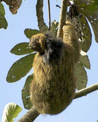 Bicho-preguiça de coleira (foto: Paulo B. Chaves)