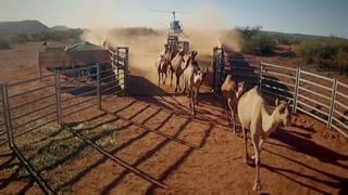 Camellos en Australia
