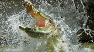 crocodilo (foto: Grahame Webb)