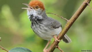 Pájaro Sastre Camboya