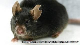 Клонированная мышь