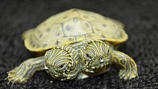 Двухголовая черепаха