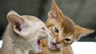 बिल्लियां