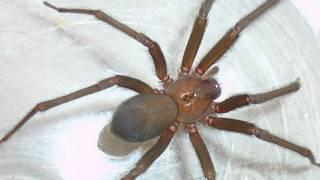 Araña parda reclusa