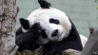 大熊貓「甜甜」
