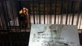तिब्बती नस्ल का एक कुत्ता.