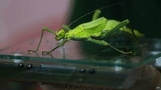 الحشرة العصوية
