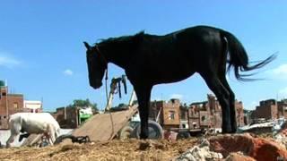 काला घोड़ा, नाल, सौभाग्यशाली, अंधविश्वास