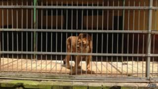 Leão no zoológico de Adis Abeba (foto: AFP)