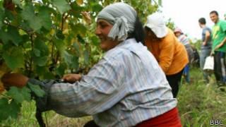 Сбор винограда в Грузии