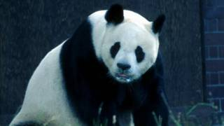 Giant panda, London Zoo