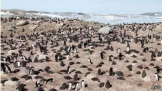 Колония пингвинов Адели в Антарктике