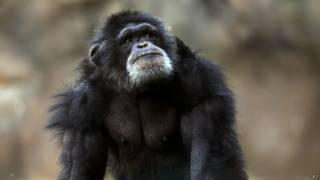 Chimpanzé | Crédito: AP