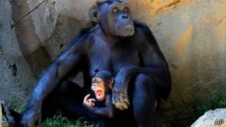 В Нью-Йорке решается вопрос о юридической правоспособности шимпанзе