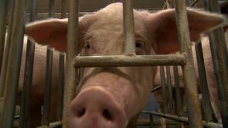 Cerdo en el centro de clonación de BGI