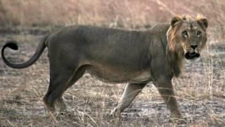 Leão fotografado em parque nacional em Benin, África Ocidental (Foto: ONG Panthera)