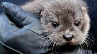 Filhote de foca resgatado das enchentes na Inglaterra (BBC)