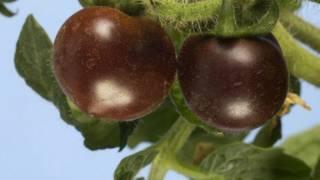 Tomat Ungu