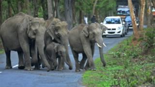 हाथियों को पकड़ने के लिए सबसे बड़ा अभियान