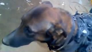 Захваченная талибами собака