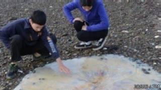 يعمل علماء استراليون على تصنيف فصائل جديدة من قناديل البحر العملاقة التي جرفتها الأمواج على الشاطئ في ولاية تسمانيا.