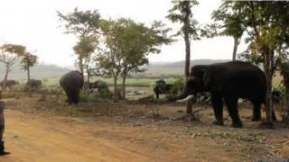 कर्नाटक में हाथी पकड़ने का अभियान