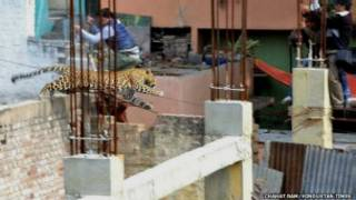 The leopard was first spotted in Meerut town on Sunday afternoon