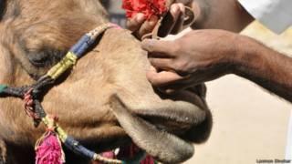 राजस्थान में ऊंटों की घटती तादाद