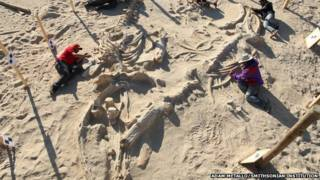Hundreds of fossils await unearthing and description at Cerro Ballena