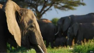 فيل وفي الخلفية قطيع من الأفيال