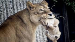 Львица с детенышем в зоопарке