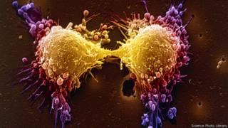 प्रॉस्टैट कैंसर की कोशिकाओं का विभाजन