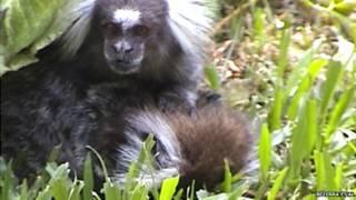 मादा बंदर की देखभाल करता नर बंदर