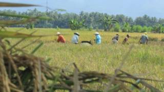 yangon_rice_field