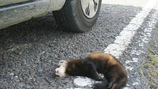 animal muerto