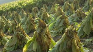 مزارع التبغ