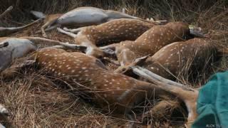 छत्तीसगढ़, मृत हिरण