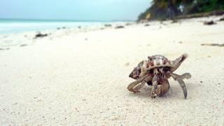A hermit crab on a beach in Zanzibar