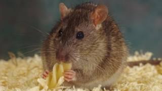 الفئران تشعر بالأسف بعد القرارات السيئة