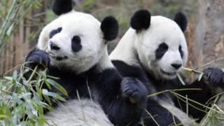 Panda (Reuters)