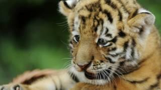 बाघ का बच्चा