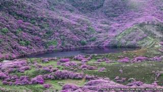 Заросли рододендрона в Ирландии